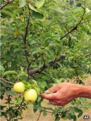 Apples being picked the from tree