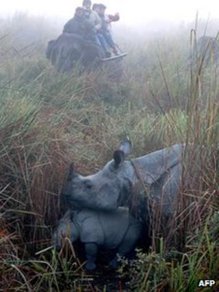One-horned rhino in Kaziranga