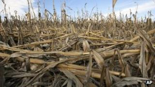Corn plants damaged by drought in Nebraska