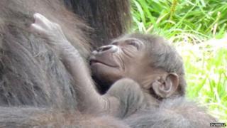 Newborn gorilla at Durrell