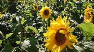 Sunflower maze at Guernsey's Saumarez Park