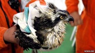 Rescued osprey