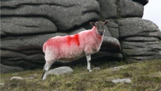 Single sheep against granite rock background