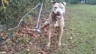 Buster the pit bull dog
