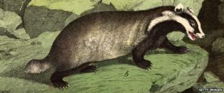 The common badger, a nocturnal animal of the otter and weasel family (c. 1850)