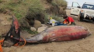 Man checking a dead whale