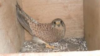 Kestrel in an artificial nest box