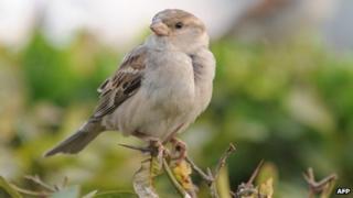 Indian house sparrow