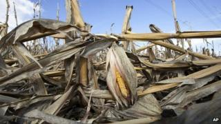 Ruined corn crop