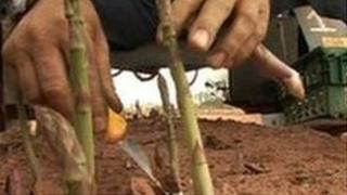 Asparagus pickers at Owen farm