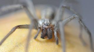 Female house spider