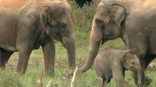 Asian elephants at Twycross Zoo in Leicestershire