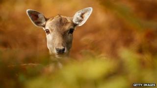 Deer. A female deer.