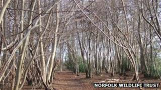 Trees affected by a suspected case of Ash Dieback