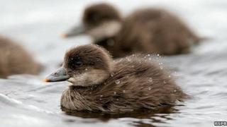 Scoter ducklings