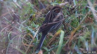 Little Bunting in Elba Park, Sunderland. Photo: Tristan Reid