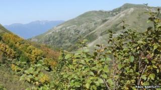 Betula medwedewii