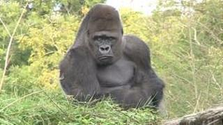 Gorilla at Durrell Wildlife Conservation Trust in Jersey