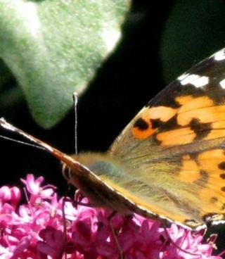 Butterfly (Image: BBC)