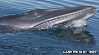 Minke Whale near the Isle of Man coast