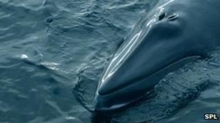 Minke whale off Hebrides