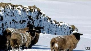 Sheep by a wall in snow