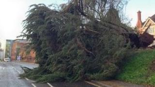 The tree that killed the woman in Exeter