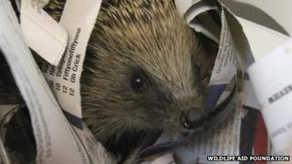 Hedgehog at Wildlife Aid Foundation