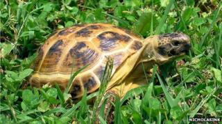 A horsefield tortoise