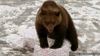 Loki the bear