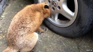 fox with head trapped inside