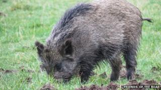 Wild boar seen in Devon. Pic: Friends Of The Boar