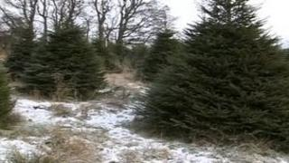 Christmas trees at Hamsterley Forest