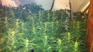 Seven hundred plants were discovered in a rural property in Coa, near Enniskillen in March