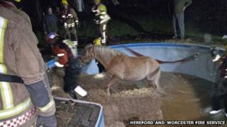 The horse being rescued from the swimming pool