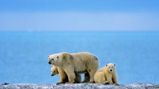polar bears and water