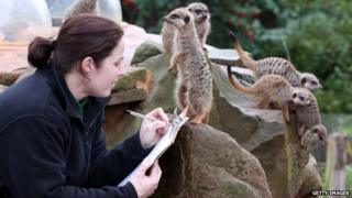 A zoo keeper helps count some of the meerkats as part of the annual stock take at Bristol Zoo