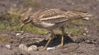 Stone curlew, Breckland