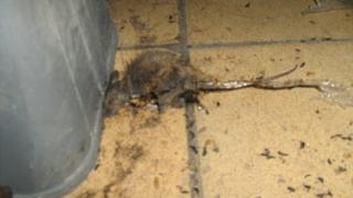 Dead mouse and droppings on bakery floor