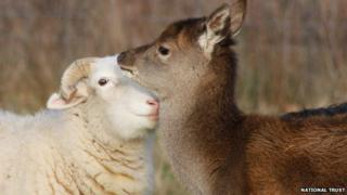 Sheep and red deer, Suffolk
