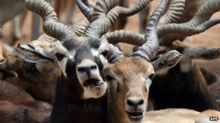 File photo of black bucks in an Indian zoo