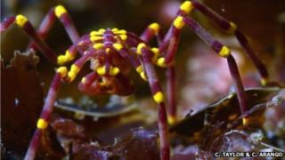 A new species of Pseudopallene sea spider found in shallow water off the northwest coast of Australia