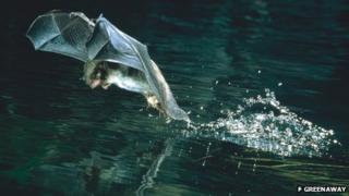 Daubenton's bat catching an insect (Image courtesy of F. Greenaway)