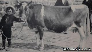 An Alderney Cow