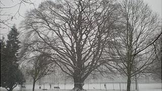 A 200-year-old copper beach tree in Montpellier Gardens, Cheltenham