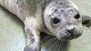Rescued baby seal