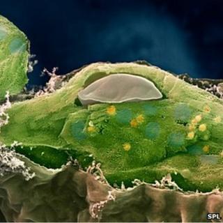 SEM of chloroplast
