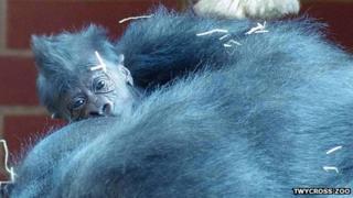 Baby gorilla at Twycross Zoo