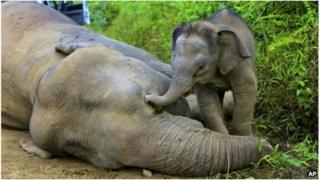 Baby elephant by its dead mother in Gunung Rara Forest Reserve in Sabah, Malaysia (23 Jan 2013)