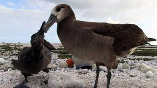 Albatross parent and chick